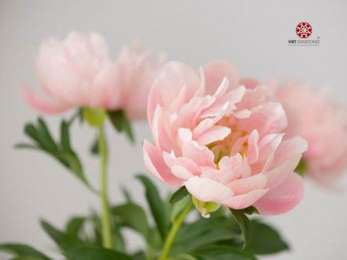 Ý nghĩa hoa mẫu đơn trong phong thủy